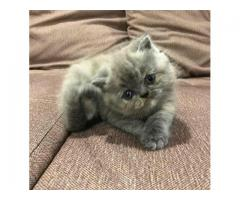 Умилительный кот экзот
